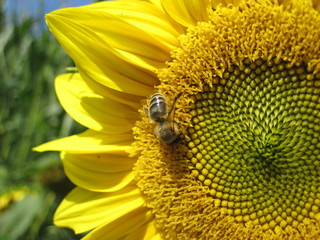 Bee is sitting on the sunflower