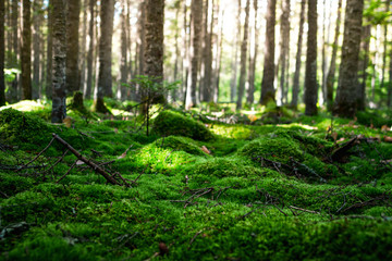 Magic morning forest with a soft carpet of moss in the north of the Khabarovsk region of Russia