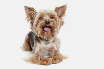 Yorkshire terrier at studio against a white background Wall mural