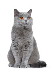 Wall Mural - Sweet young adult solid blue British Shorthair cat kitten sitting up, looking to the side with orange eyes , isolated on white background