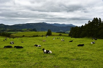 Azoren - Sao Miguel - Kühe