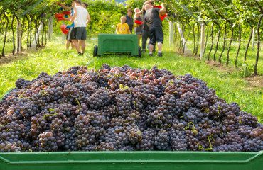 Crate of harvested grapes and rows of vines during the grape harvest in the South Tyrol / Trentino Alto Adige, northern Italy. Fototapete