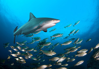 School of fish and shark