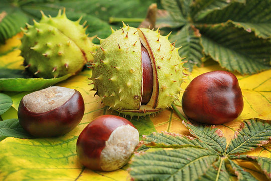 Horse chestnuts on autumn foliage