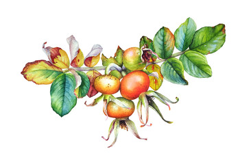 Watercolor illustration of the dogrose plant branch with leaves and berries
