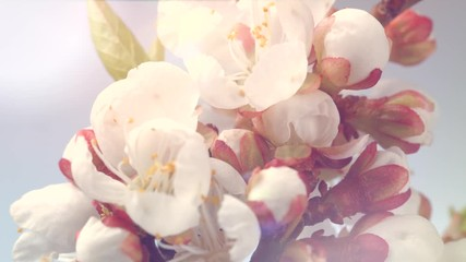 Fotoväggar - Beautiful spring apricot tree flowers blossoming timelapse. Blooming flowers of almond closeup. 4K UHD video 3840X2160