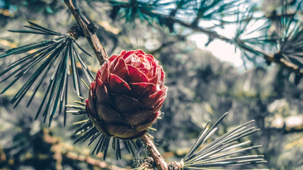A cone in the forest. Pine. Forest. Summer.