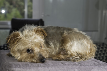dog, breed yorkshire Terrier heavily laden
