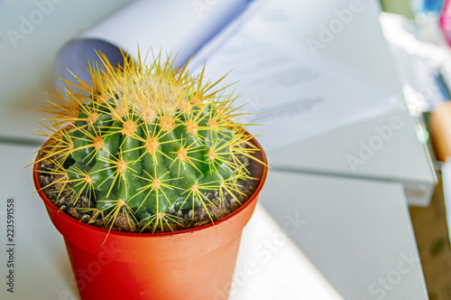 Cactus In Office Ehinokaktus Of Gruson With Long Needles Stands A White Desk