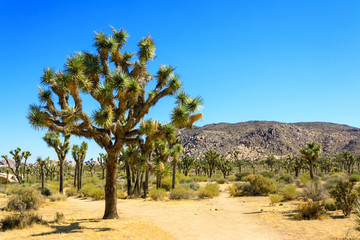Large Joshua Tree with Hiking Trail in Joshua Tree National Park in California