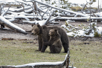 Wall Mural - Grizzly Cub with Mother