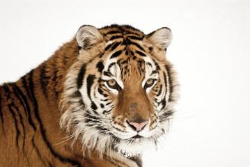 Wall Mural - Tiger Portrait