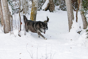 Wall Mural - Prowling Wolf in Winter