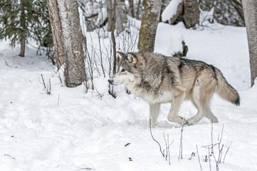 Photo sur Plexiglas Loup Wolf Hunting in Winter