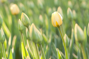 beautiful yellow tulips with buds blooming in the field or in the garden