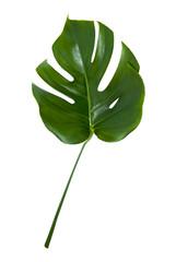 Fresh monstera leaf isolated on white background