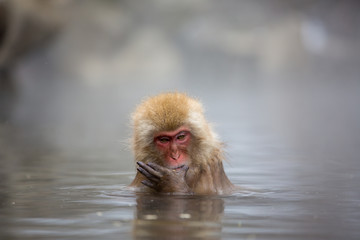 macaque monkey in a bath in japan