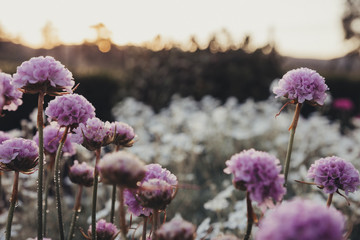 Close-up of purple flowers growing on field during sunset