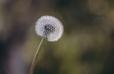 Close-up of dandelion seed growing outdoors