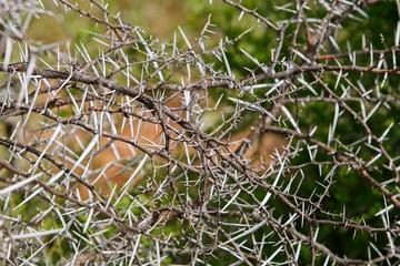 An Elephant thorn bush background image.
