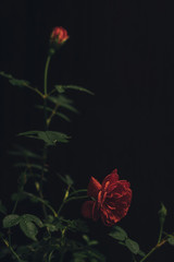 Close-up of roses growing against black background