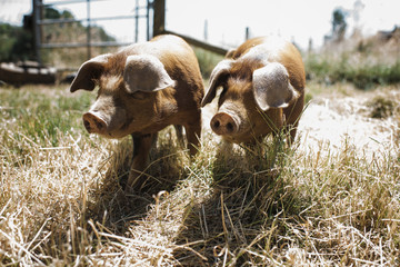 Pigs standing on grassy field during sunny day