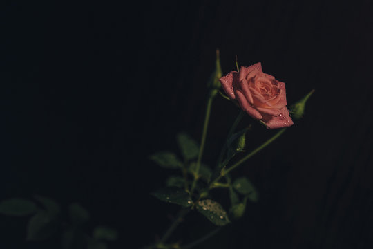 Close-up of rose growing against black background