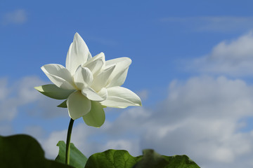 Low angle view of lotus growing against blue sky