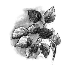 Hand drawn leaves. Nature pencil illustration. The branch with foliage.