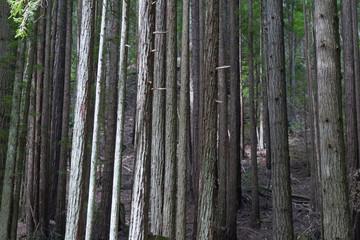 Dense Trees
