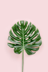 Tropical palm leaf Monstera on pink background. Flat lay, top view minimal concept.