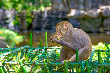 monkeys running around in the jungle, eating. small and big plays and bask in the Sun.