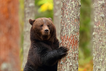Brown bear standing leaning in a tree of a forest