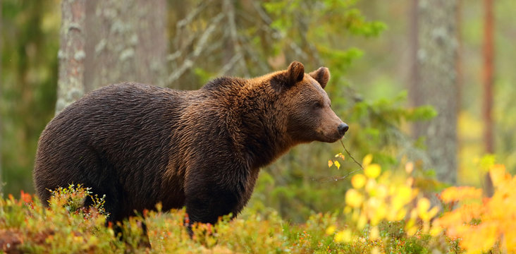 Side view of a brown bear in a forest