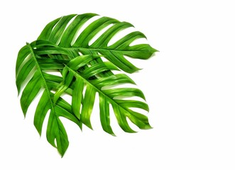 Green jungle monsters leaves are growing on isolated white background