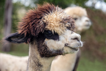 Brown and white Alpaca
