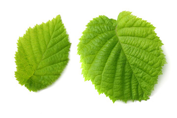 hazelnut leaves isolated on white background. top view