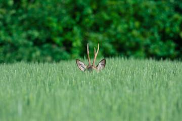 European roe deer in a wheat field