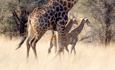 Adult giraffe with two young, in Namibia