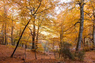 Foliage for  background, in Monti Cimini, Lazio, Italy. Autumn colors in a beechwood. Beechs with yellow leaves.
