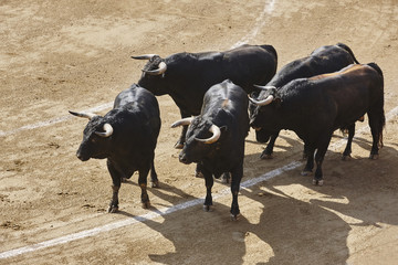 Fighting bulls in the arena. Bullring. Toro bravo. Spain.