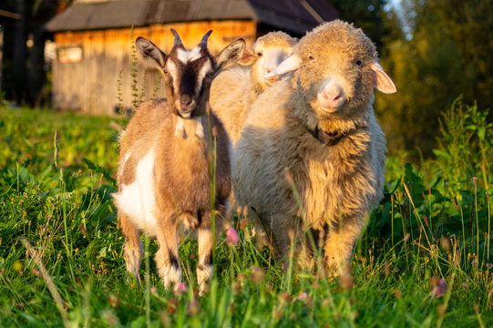 sheep and goat in the pasture in the mountainous village