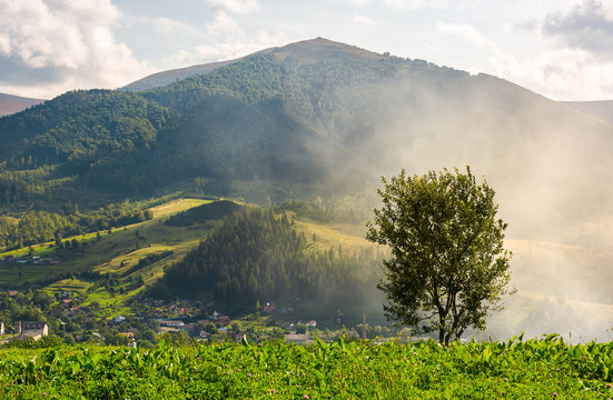 lonely tree on the meadow in smoke. Temnatyk mountain in the distance under the cloudy afternoon sky. beautiful landscape of mountainous Carpathian countryside. location Volovets, Ukraine