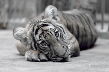 Tiger cub lying on the floor
