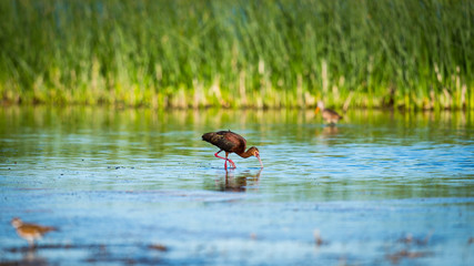 White-faced Ibis (Plegadis chihi).