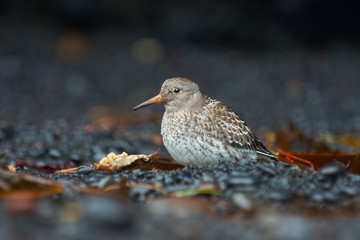 Purple sandpiper at the Reynisfjara Black Sand Beach. Vik, Iceland