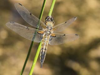 Eine Libelle sitzt auf einem grünen Grashalm über der Wasseroberfläche.