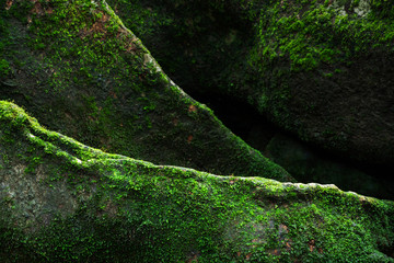 Texture of green moss on big tree roots