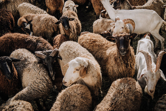 selective focus of herd of sheep and goats grazing in corral at farm