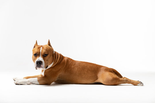 Adorable red and white dog downs at white background